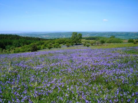 Bluebells on Black Down